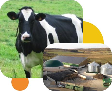 Vache et ferme du pichet